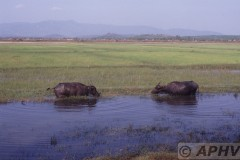 aphv-1421-030222-myanmar-nabij-mokpalin-waterbuffels-22-2-2003